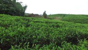 Tea plantation field on Sri Lank stock video footage