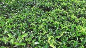 Tea plantation field on Sri Lank stock footage