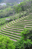Tea plantation fields Stock Photography