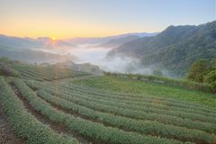 Tea plantation fields at dawn with morning fog in the distant valley, in Pingling, Taipei, Taiwan Royalty Free Stock Photos