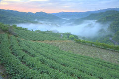 Tea plantation fields at dawn with morning fog in the distant valley, in Pingling, Taipei, Taiwan Royalty Free Stock Photography