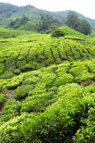 Tea plantation fields in Highlands Stock Photos