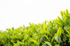 Tea plantation with focus on tea leaf shoots Stock Photography