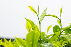 Tea plantation with focus on tea leaf shoots Stock Photo