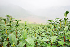 Tea plantation in foggy morning Stock Photography