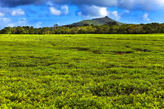 Tea plantation in the foothills. Maurritius Royalty Free Stock Photography