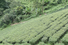 Tea plantation. fresh green and white tea leaves. agriculture, f Royalty Free Stock Photos