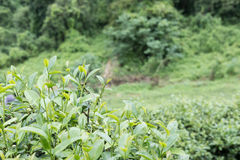 Tea plantation. fresh green and white tea leaves. agriculture, f Stock Photos