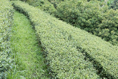 Tea plantation. fresh green and white tea leaves. agriculture, f Royalty Free Stock Image
