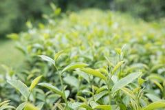 Tea plantation. fresh green and white tea leaves. agriculture, f Stock Photo