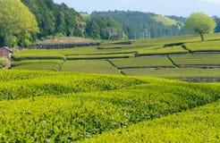 Tea plantation Royalty Free Stock Photography