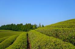 Tea plantation Royalty Free Stock Photo