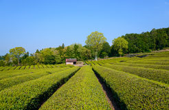 Tea plantation Stock Photos