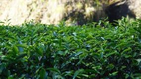 Tea plantation in Fujian Province, China Royalty Free Stock Image