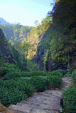 Tea plantation in Fujian Province, China Stock Images