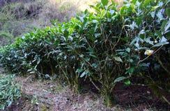 Tea plantation in Fujian Province, China Royalty Free Stock Photos
