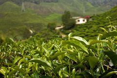 Tea plantation garden. On close up and background stock images
