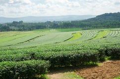 Tea plantation garden at Singha Park,Chiang Rai Thailand Stock Photography