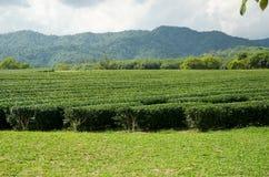 Tea plantation garden at Singha Park,Chiang Rai Thailand Royalty Free Stock Images