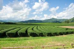 Tea plantation garden at Singha Park,Chiang Rai Thailand Royalty Free Stock Image