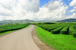 Tea plantation garden at Singha Park,Chiang Rai Thailand Royalty Free Stock Photo