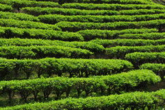 Tea plantation garden in Taiwan on a hill slope Royalty Free Stock Photography