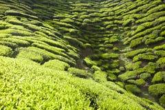 Tea plantation, green background Stock Photos