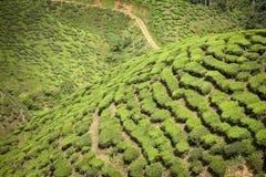 Tea plantation, green background Stock Images