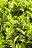 Tea plantation, green background Royalty Free Stock Photo