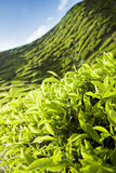 Tea plantation, green background, Malaysia Royalty Free Stock Photo