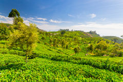 Tea plantation green landscape in Sri Lanka