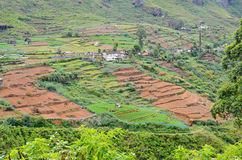 Tea plantation with green shrubs and brown fields  in Highlands  Sri Lanka Royalty Free Stock Images