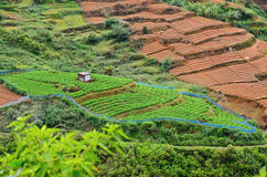 Tea plantation with green shrubs and brown fields  in Highlands  Sri Lanka Stock Photography