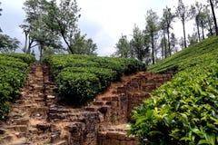 Tea Plantation. Green tea plantation in Sri Lanka royalty free stock photography