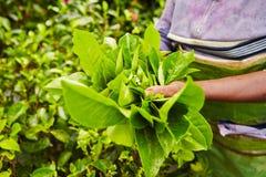 Tea plantation. Hands of women from the tea plantation - Sri Lanka Stock Photos