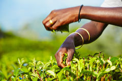 Tea plantation. Hands of women from the tea plantation - Sri Lanka Stock Image