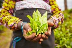 Tea plantation. Hands of women from the tea plantation - Sri Lanka Stock Photo