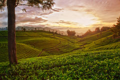 Tea plantation. In hdr quality Royalty Free Stock Images
