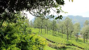 Tea plantation Height mountain. Tea Plantation On High Mountain with green  nature misty sky In Sri Lanka Royalty Free Stock Photo