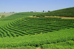 Tea Plantation in Highland Royalty Free Stock Images