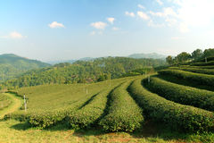 Tea Plantation in Highland Stock Photography