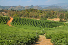 Tea Plantation in Highland Stock Image