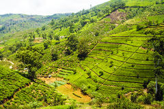 Tea Plantation in the Highlands of Nuwara Eliya, Sri Lanka Royalty Free Stock Photography