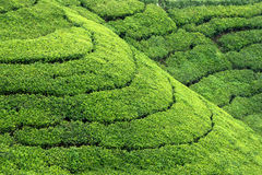 Tea plantation highlands Stock Image