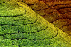 Tea plantation highlands Stock Photo