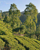 Tea Plantation in the highlands of Sri Lanka Royalty Free Stock Photo