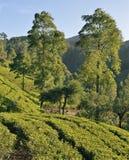 Tea Plantation in the highlands of Sri Lanka Royalty Free Stock Photo
