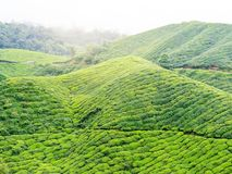 Tea plantation on hill in Cemeron Highland Royalty Free Stock Image