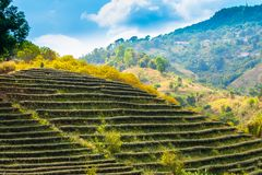 Tea plantation on the hill. In Chiang Rai. It requires a lot of space and is made up of steps stock photos