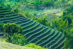 Tea plantation on the hill. In Chiang Rai. It requires a lot of space and is made up of steps royalty free stock photo